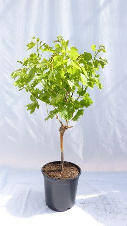 3er SET: Weintraube kernlos 80 - 100 cm, Vitis Vinifera am Stamm
