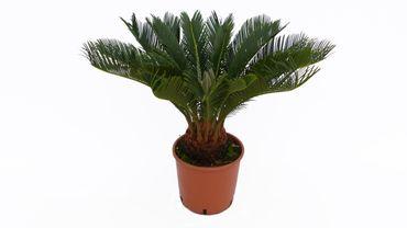 L Palmfarn 50-75 cm Cycas Revoluta Sagopalme Palme, innen + außen