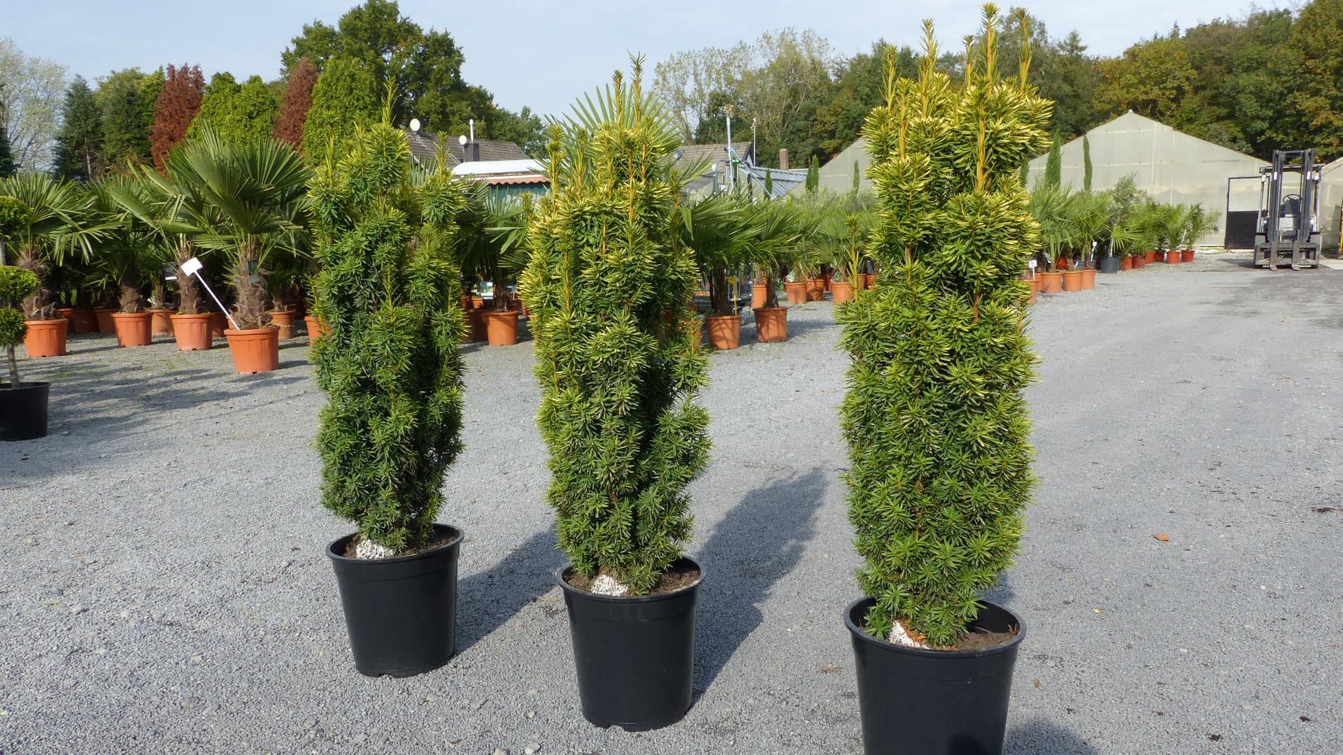 Eiben Dungen Eibe Taxus Pflanzen Und Pflegen
